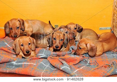 Dachshund puppies in the home aviary for puppies. Age puppies two and a half months.
