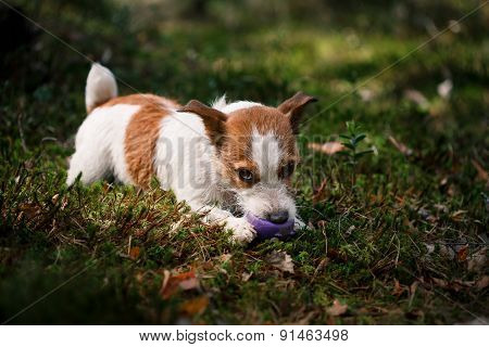 Dog Jack Russell Terrier Walks On Nature