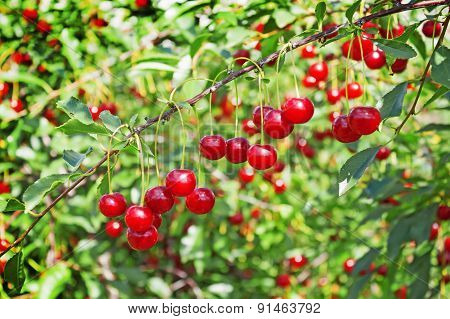 Lots Of Cherries On A Thin Twig