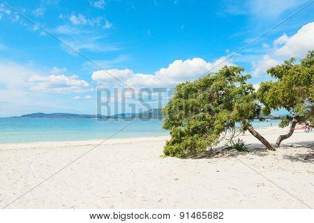 Pine Tree By The Sea In Alghero Coastline