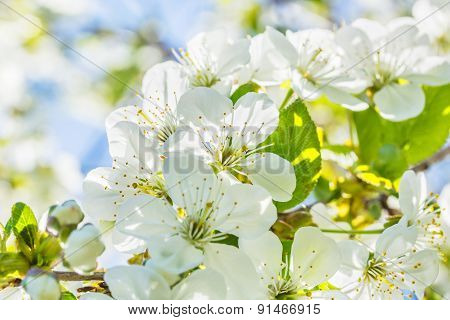 Flowers Of The Cherry Tree, Backlit, Close Up