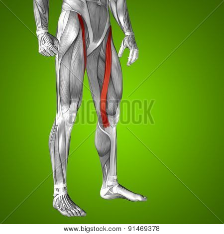 Concept or conceptual 3D human upper leg anatomy or anatomical and muscle on green gradient background