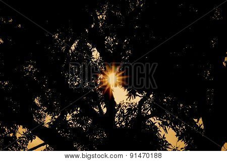 Sun setting behind Mango Tree