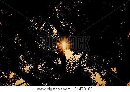 Sun setting behind Mango Tree
