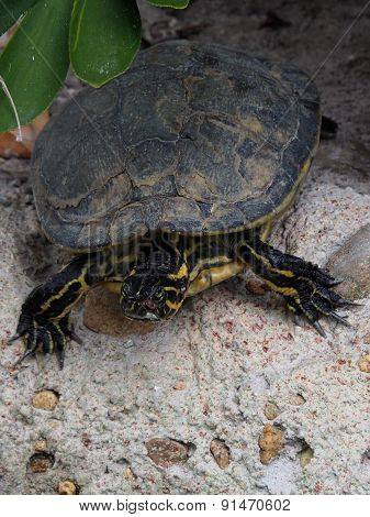 Peninsula Cooter Turtle