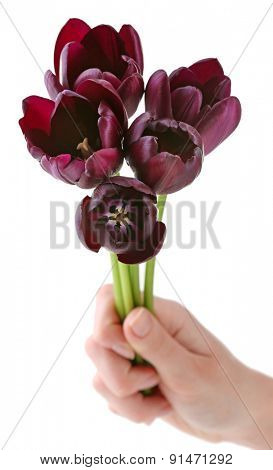 hand holding beautiful violet tulips isolated on white