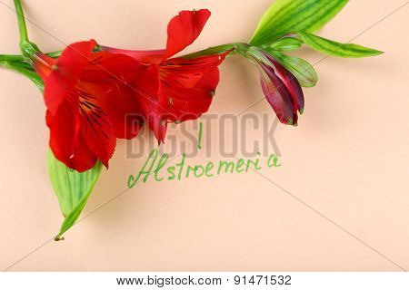 Beautiful alstroemeria with inscription on paper background