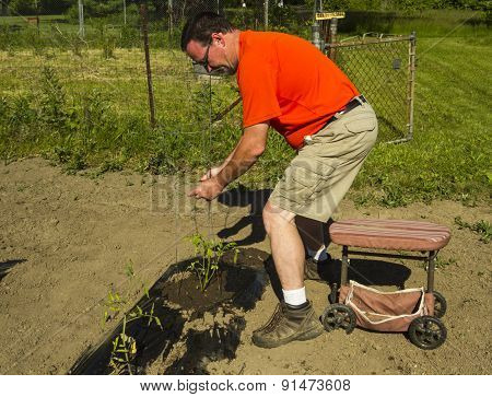 Organic Farmer Putting On A Tomato Cage