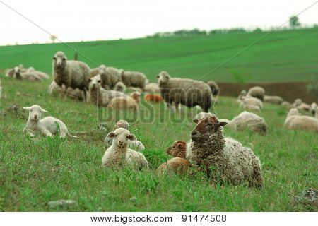 Sheeps grazing in meadow