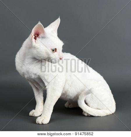 Beautiful white cat on gray background