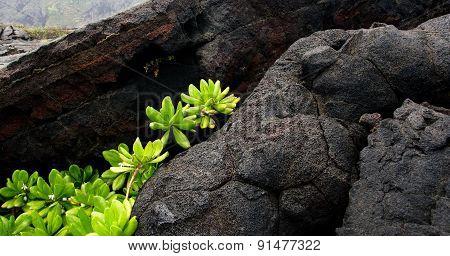 Naupaka Kahakai Breaks Through Lava Field