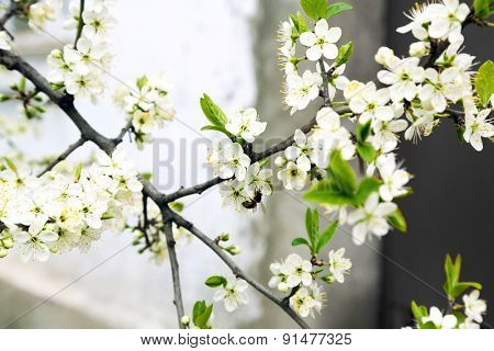 Blooming tree twigs with white flowers in spring close up