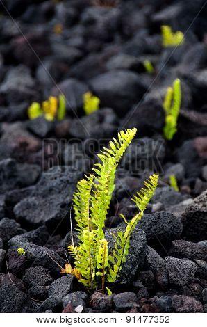 Amau Fern Breaks Through Lava Field Near Chain Of Craters Road