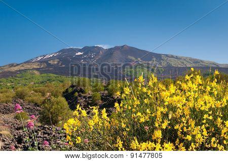 Blooming Broom Plant
