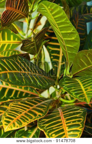 Leaves of croton tree Codiaeum - abstract nature background
