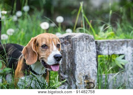 Beagle looking for prey in thickets of grass.