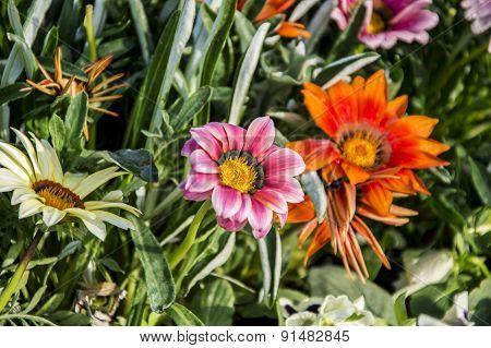 Beautiful Gazania Flowers