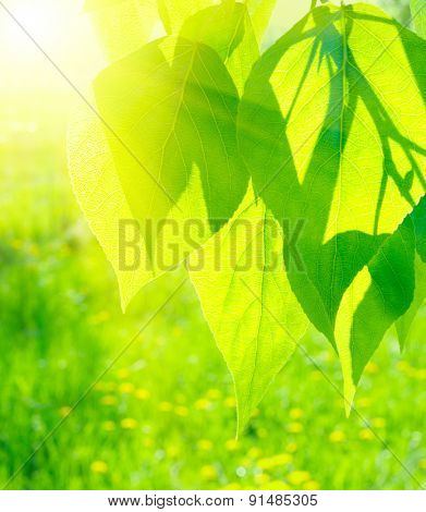 Sun over green poplar leaves