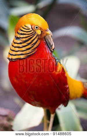 Beautiful Male Golden Pheasant Bird