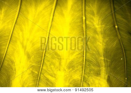Close Up Natural Backlight on Leaf Background Texture