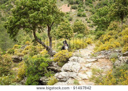 Border Collie Dog In The Tartagine Valley In Northern Corsica