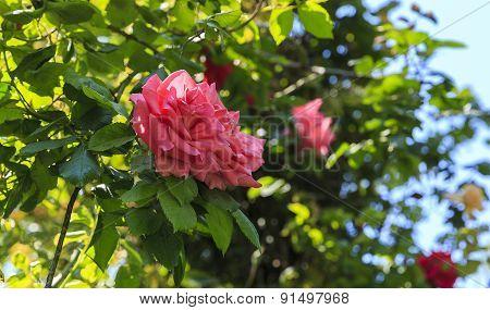 Shrub Roses In The Park