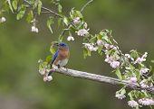 image of bluebird  - Male Eastern bluebird perched under pink wildflowers - JPG