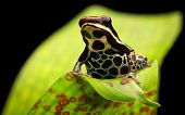 stock photo of rainforest  - tropical poison dart frog - JPG