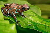picture of rainforest  - poison dart frog Dendrobates auratus from the tropical rain forest of Panama - JPG