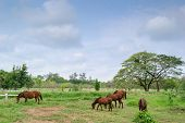 picture of brown horse  - brown horses on landscape view and on a farm with green grass - JPG