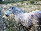 picture of horses eating  - Grey horse in field eating wild oats in Alora Countryside Andalucia - JPG