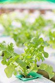 stock photo of frilly  - Hydroponics vegetable farm - JPG