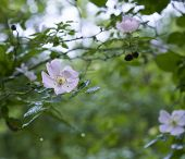 image of wild-brier  - deyail of a wild rose in a field in la spezia - JPG