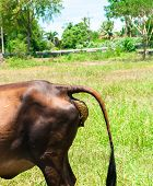 foto of nose drops  - Brown cow dropping the faece in green field - JPG