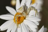 stock photo of mimicry  - Close up white spider - JPG