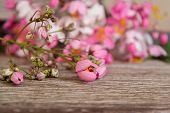 picture of cassia  - Fresh flowers of Rainbow Showers on old wooden - JPG