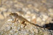 pic of lizards  - Brown Lizard resting on rocks in the wild Florida - JPG