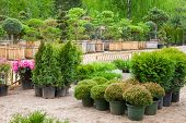 pic of bonsai  - Cypresses plants in pots bonsai garden plants on tree farm - JPG