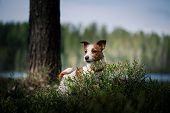 picture of jack russell terrier  - Dog Jack Russell Terrier walks in the park summer - JPG