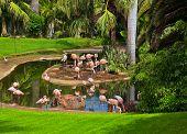 picture of pink flamingos  - Pink flamingo in park Tenerife  - JPG