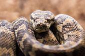 pic of pythons  - Close - JPG