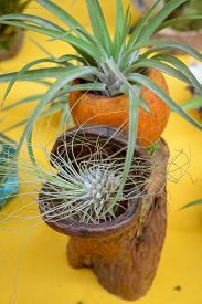stock photo of tillandsia  - Nice composition of Tillandsia species of evergreen perennial flowering plants in the family Bromeliaceae native to the forests mountains and deserts of Central and South America the southern United States and the West Indies - JPG