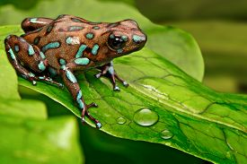 stock photo of rainforest  - poison dart frog Dendrobates auratus from the tropical rain forest of Panama - JPG