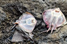 stock photo of stingray  - Dead Stingray Fish on the Coast near the Atlantic Ocean - JPG