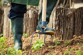 stock photo of prunes  - Spring garden concept. Gardener is doing garden work with hay fork. Garden work ** Note: Shallow depth of field - JPG