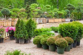 pic of juniper-tree  - Cypresses plants in pots bonsai garden plants on tree farm - JPG