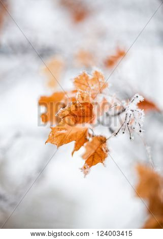 Maple leaves covered with hoarfrost. Close up.