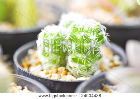 cactus plant in the flower pot ,desert plant ** Note: Soft Focus at 100%, best at smaller sizes