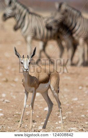 springbok antelope in etosha national park, namibia