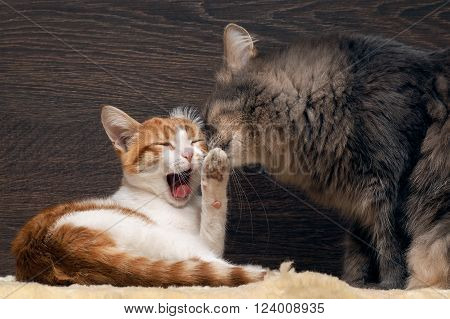 Cat and kitten. The kitten cries, raised his paw. A large gray cat washes kitten. kitten dissatisfied
